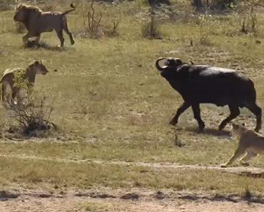 Búfalo Escapa Milagrosamente Ao Ataque De Leões e Crocodilos 5