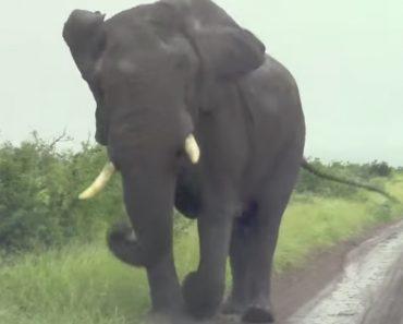 Elefante Irrita-se Com a Presença De Condutor e Obriga-o a Fugir De Marcha-a-trás Para Escapar De Perseguição 8