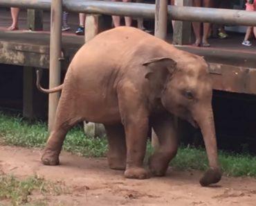 Jovem Elefante Tenta Perceber Como Se Usa Chinelo Depois De o Roubar Ao Tratador 3