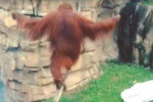 Orangotango Sabe Melhor Do Que Ninguém Como Andar De Pé Em Cima De Uma Corda! 5