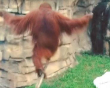 Orangotango Sabe Melhor Do Que Ninguém Como Andar De Pé Em Cima De Uma Corda! 8