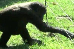 Inteligente Gorila Descobre Como Passar Por Vedação Elétrica Sem Apanhar Choques 8