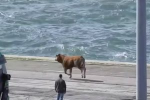 Vídeo Mostra Bezerro a Tentar Escapar à Morte No Porto De Setúbal 9