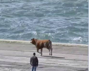 Vídeo Mostra Bezerro a Tentar Escapar à Morte No Porto De Setúbal 8