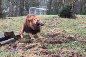 Zoo Inglês Criticado Por Convidar Crianças a Brincarem Ao Jogo Da Corda Com Leões e Tigres 10