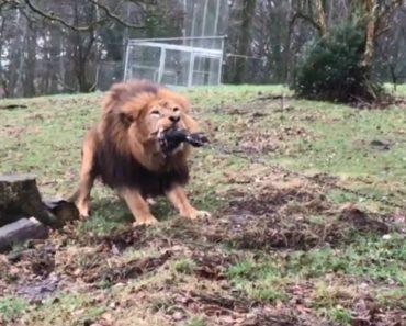 Zoo Inglês Criticado Por Convidar Crianças a Brincarem Ao Jogo Da Corda Com Leões e Tigres 2