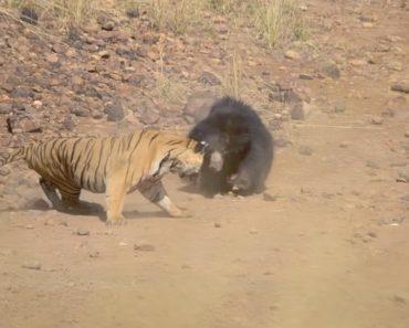 O Intenso Confronto Entre Um Tigre e Uma Mãe Ursa 6