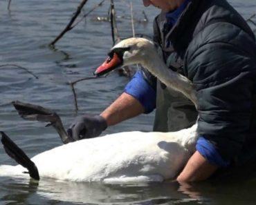 Homem Salva Cisne Que Ficou Preso Numa Linha 7