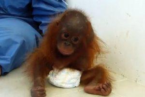 Bebé Orangotango Órfã e Traumatizada Abraça o Próprio Corpo Em Busca De Conforto 9