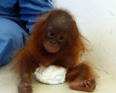 Bebé Orangotango Órfã e Traumatizada Abraça o Próprio Corpo Em Busca De Conforto 1