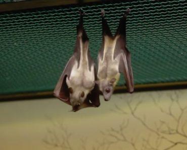Como Os Morcegos Fazem As Necessidades Quando Estão De Cabeça Para Baixo Sem Se Sujarem 6