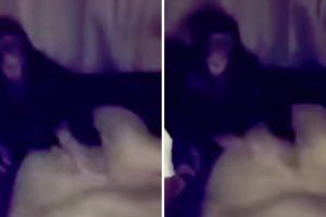 Macaco Não Gosta Da Reação De Leoa e Dá-lhe Uma Bofetada 7