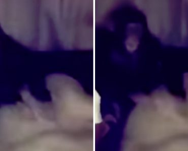 Macaco Não Gosta Da Reação De Leoa e Dá-lhe Uma Bofetada 6