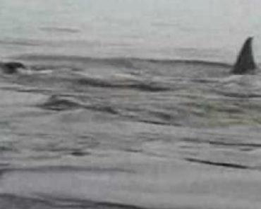 Pinguim Inteligente Descobre Como Não Ser Comido Pelas Orcas 6