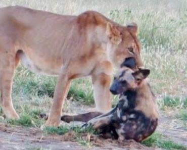 Cão Selvagem Finge-se De Morto Para Escapar De Leoa 4