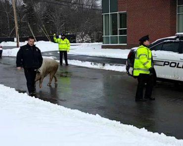Porco Faz Perseguição a Agentes Policiais 3