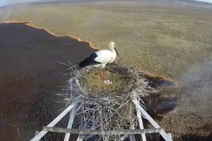 Cegonha Rara Escapa a Incêndio Devastador Na Rússia 6
