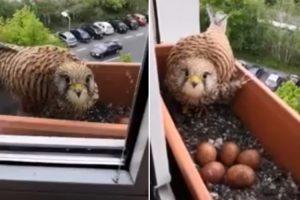 Falcão Fêmea Escolhe Vaso De Apartamento Para Pôr Os Seus Ovos 10
