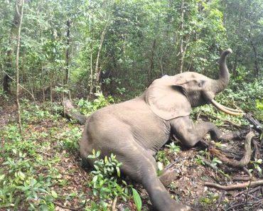 Câmara Capta o Despertar De Um Elefante Após o Efeito Do Tranquilizante 5