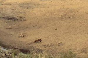 Veloz Javali Consegue Escapar De Alcateia De 7 Leões 7