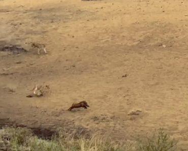 Veloz Javali Consegue Escapar De Alcateia De 7 Leões 2