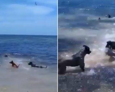 Cães Entram No Mar Para Brincar Com Tubarões Que Estavam Em Busca De Alimento 4