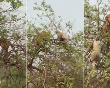 Tigre Escala Árvore Para Apanhar Macaco… Mas Dá-se Mal 1