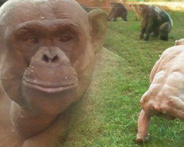 Chimpanzés Sem Pêlo Confrontam-se Em Jardim Zoológico 5