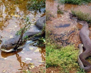 Píton é Fotografada a Devorar Crocodilo Inteiro Na Austrália 8