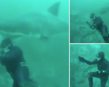 Mergulhador Tem Encontro Inesperado Com Enorme Tubarão-Branco 9