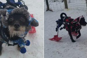 Cães Paraplégicos