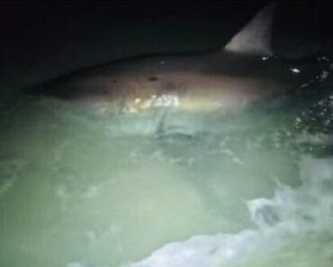 Tubarão-Branco